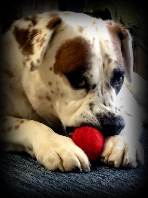 Dylan with red wool ball dog toy
