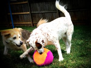 Dogs playing with fuzzy ball dog toy