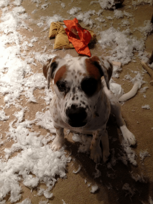 dog destroys pillow