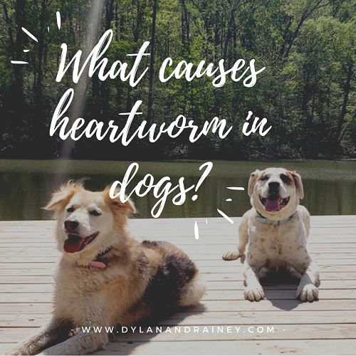 what causes heartworm in dogs